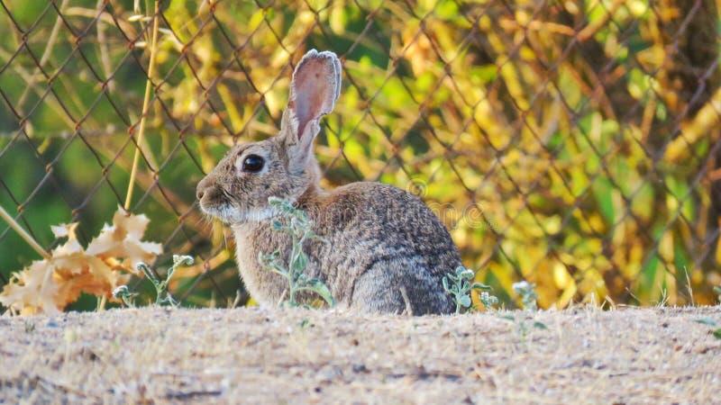 Coniglio europeo conejo de campo immagine stock libera da diritti