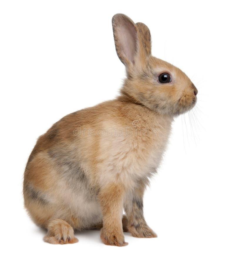 Coniglio europeo, cuniculus del Oryctolagus fotografia stock libera da diritti