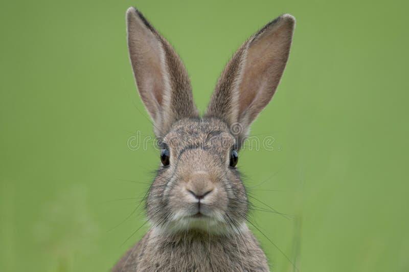 Coniglio europeo (cuniculus di oryctolagus) immagini stock libere da diritti