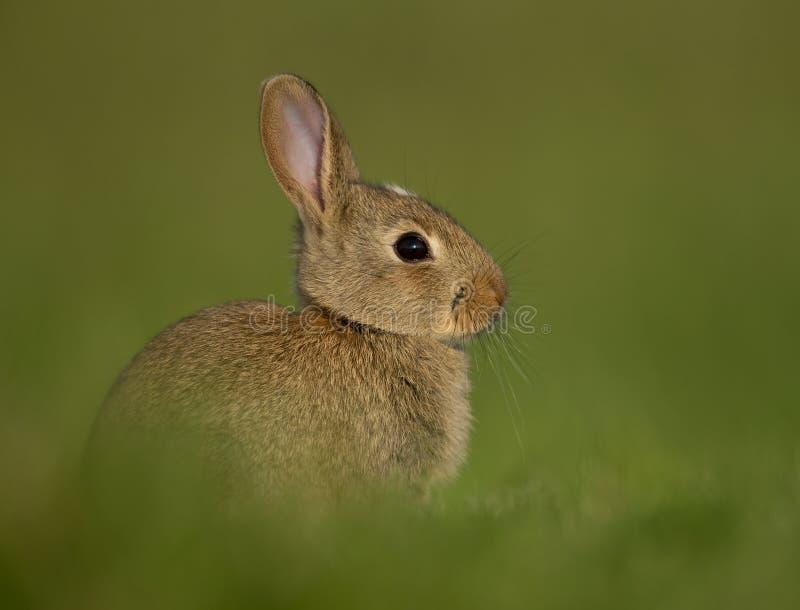 Coniglio europeo (cuniculus di oryctolagus) immagine stock