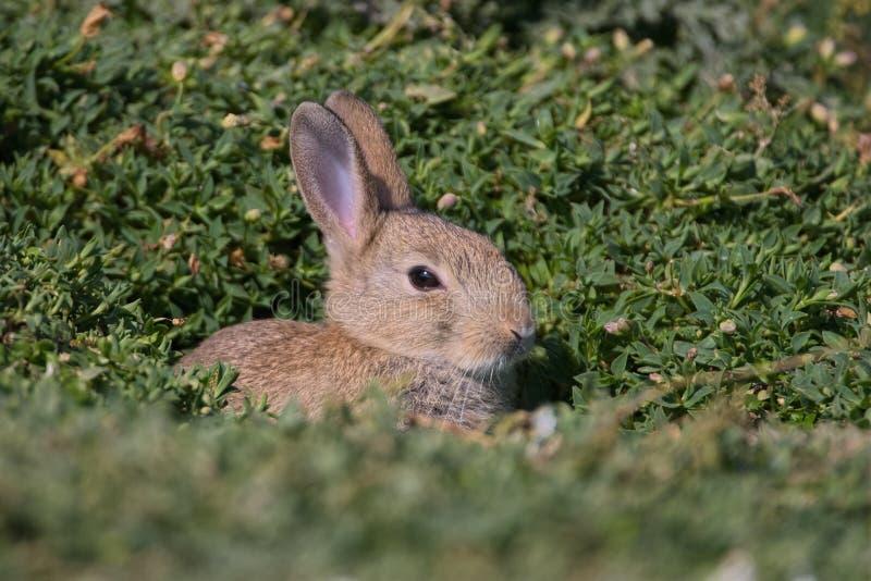 Coniglio europeo del bambino immagini stock