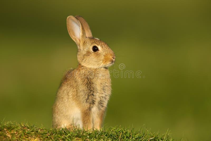 Coniglio europeo giovanile che si siede nel prato immagine stock