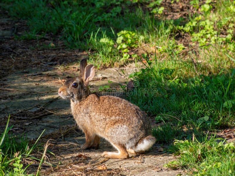 Coniglio europeo marrone selvaggio in natura Nervoso guardarmi Cuniculus di oryctolagus Aka coniglio immagini stock