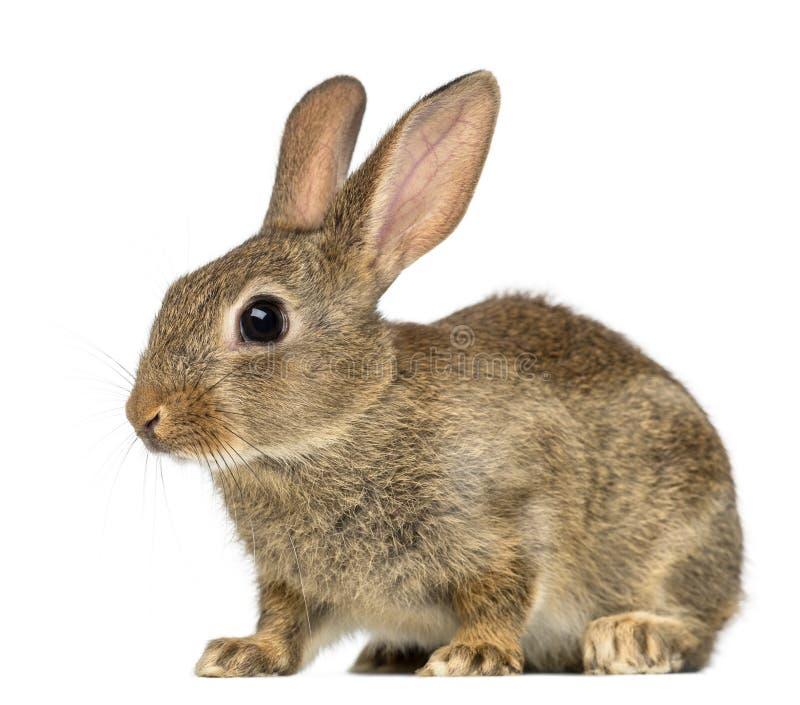 Coniglio europeo o coniglio del terreno comunale, 2 mesi immagine stock libera da diritti