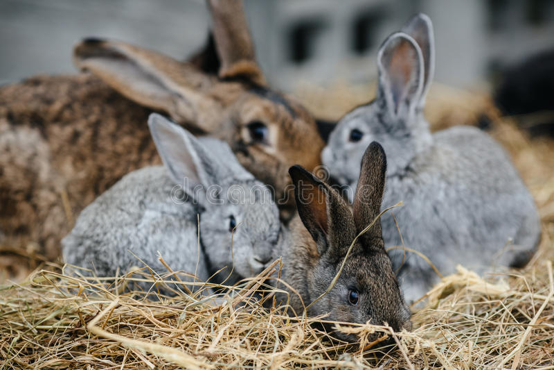 Coniglio in gabbia o conigliera dell'azienda agricola Concetto dei conigli di allevamento immagine stock libera da diritti