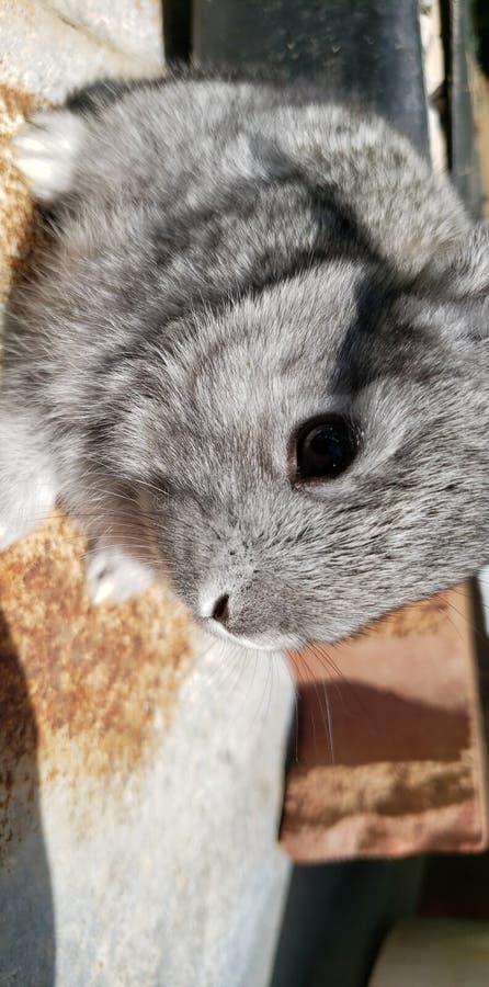 Coniglio grigio del bambino sveglio dell'animale domestico immagini stock libere da diritti