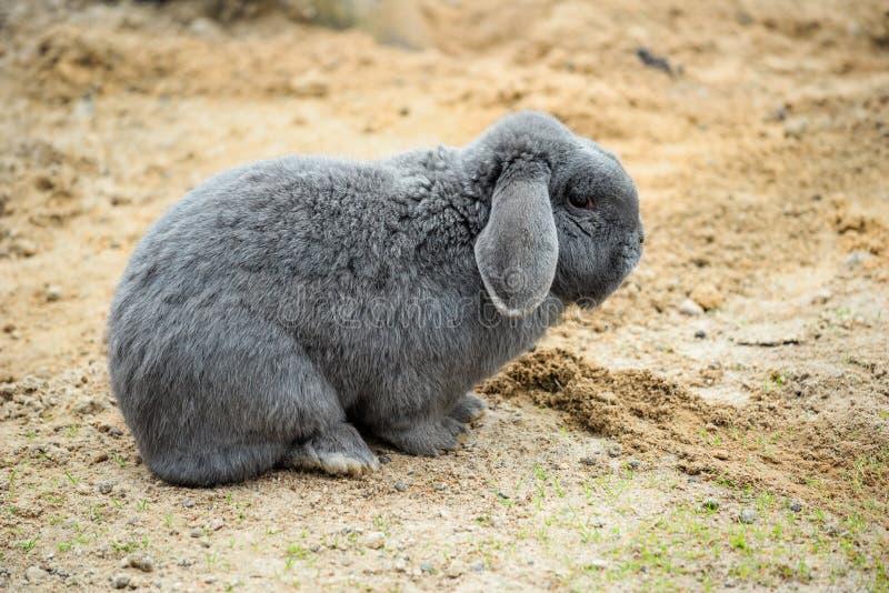 Coniglio grigio domestico, allevamento di animali, agricoltura, allevamento fotografie stock libere da diritti