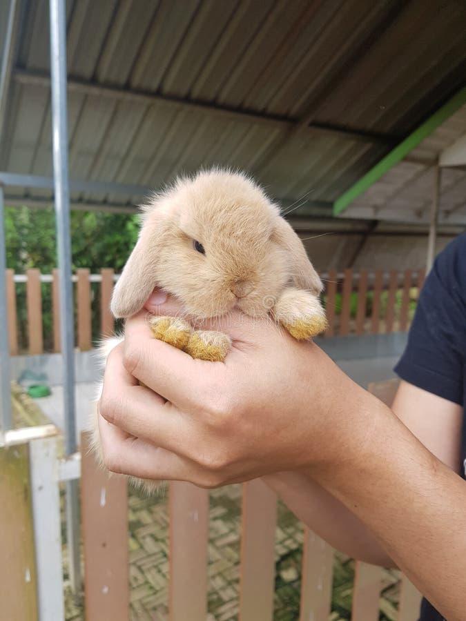 Coniglio Holland Lop di 1 mese fotografia stock
