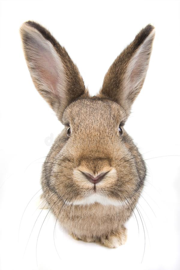 Coniglio isolato su bianco fotografia stock libera da diritti