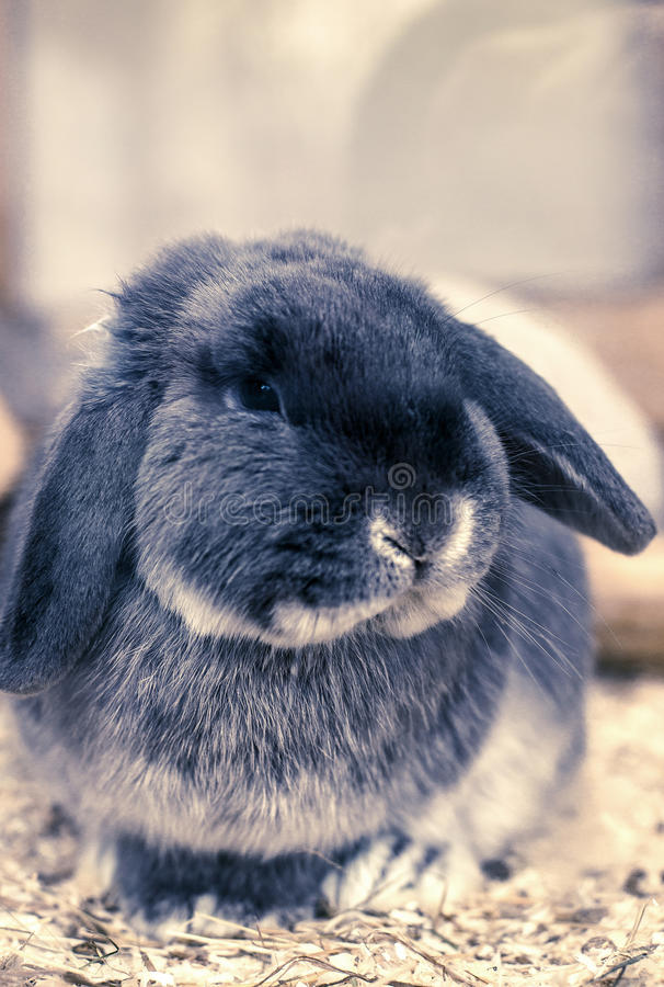 Coniglio Lop-eared immagini stock libere da diritti