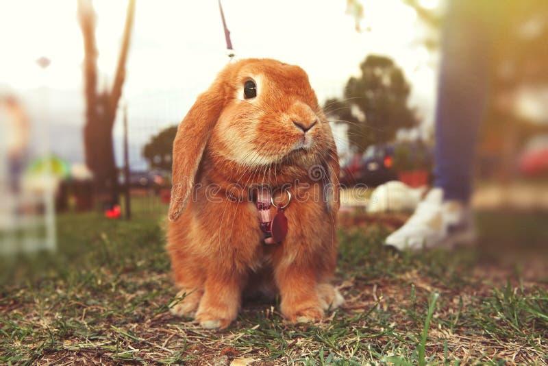 coniglio marrone fotografia stock