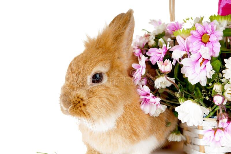Coniglio marrone dell'animale domestico. fotografia stock libera da diritti