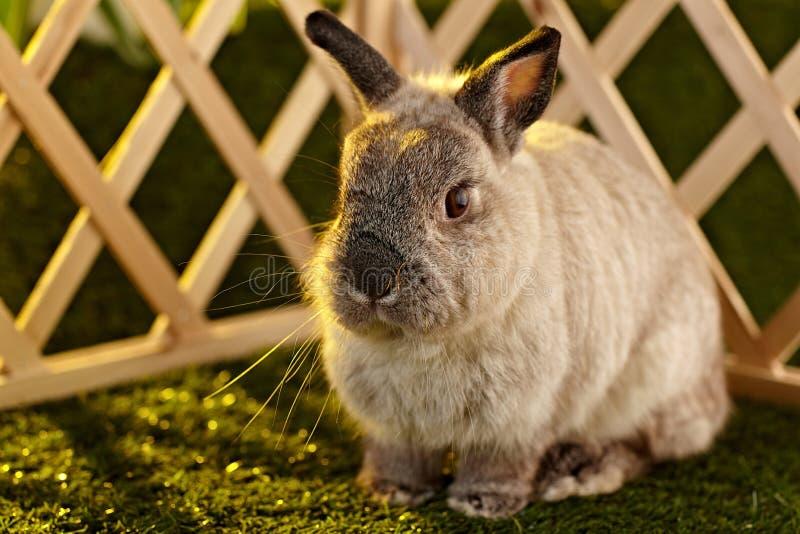 Coniglio nano olandese immagine stock libera da diritti