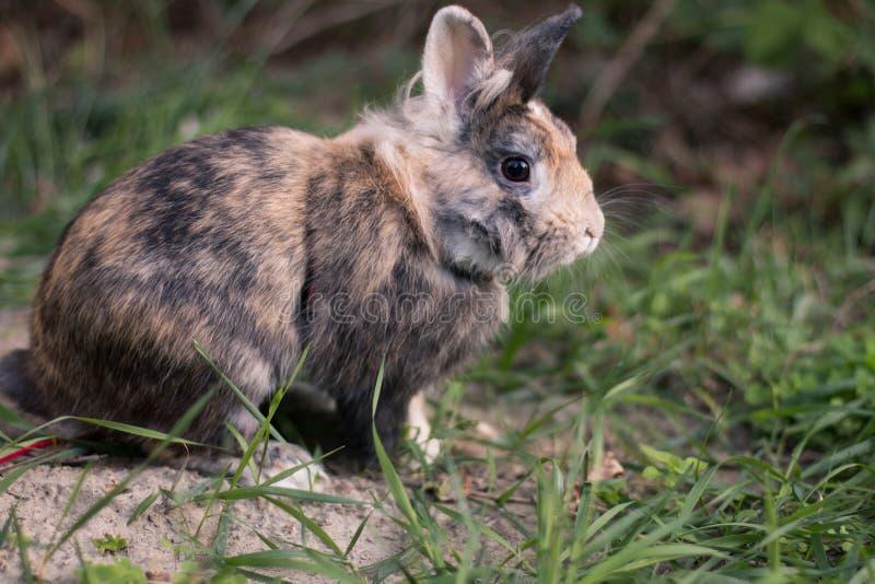 Coniglio nano sveglio sull'erba immagini stock libere da diritti