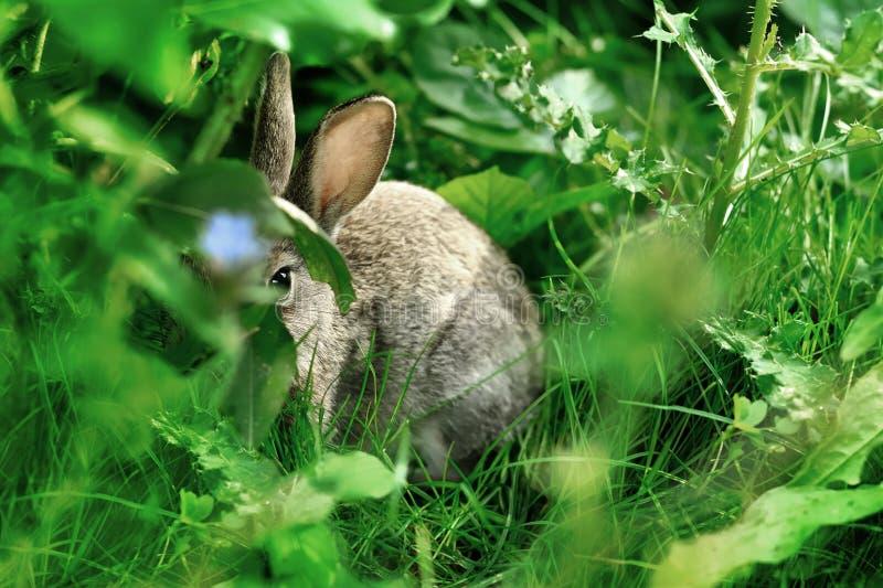 Coniglio nascosto in erba verde fotografia stock libera da diritti