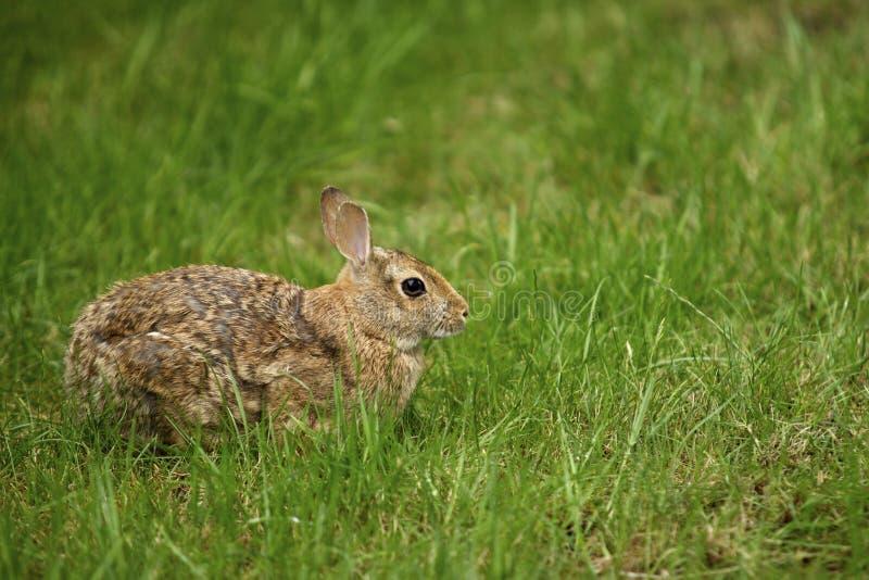 Coniglio nell'erba 1 fotografie stock libere da diritti