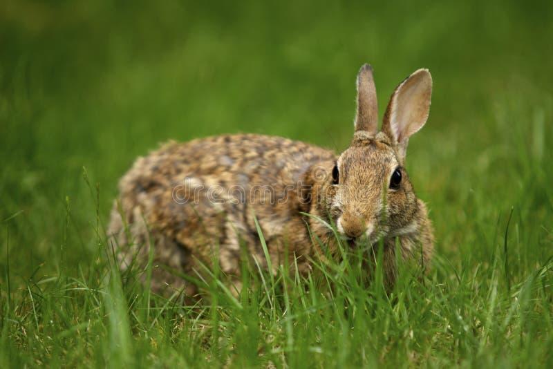Coniglio nell'erba 4 fotografia stock libera da diritti