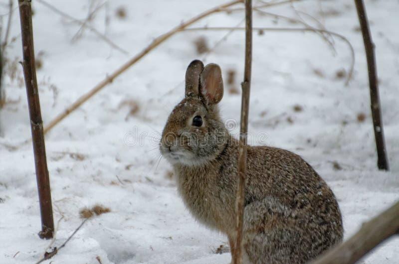 Coniglio nell'inverno immagine stock