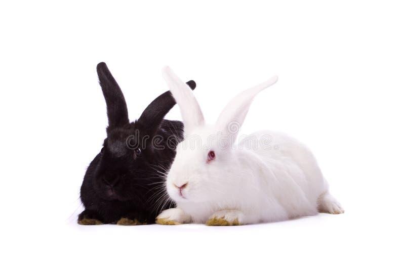 Coniglio nero e coniglio di bianco isolato fotografia stock libera da diritti