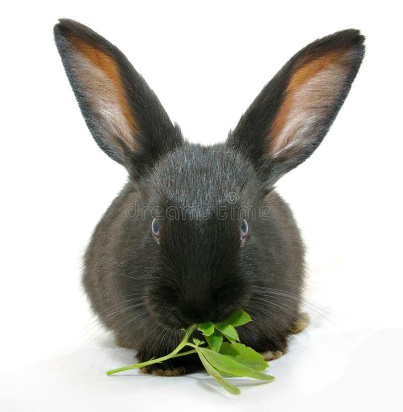 Coniglio nero isolato fotografia stock