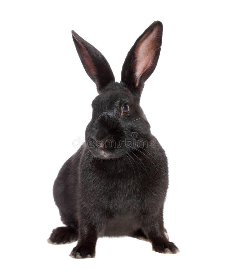Coniglio nero, isolato. fotografia stock libera da diritti