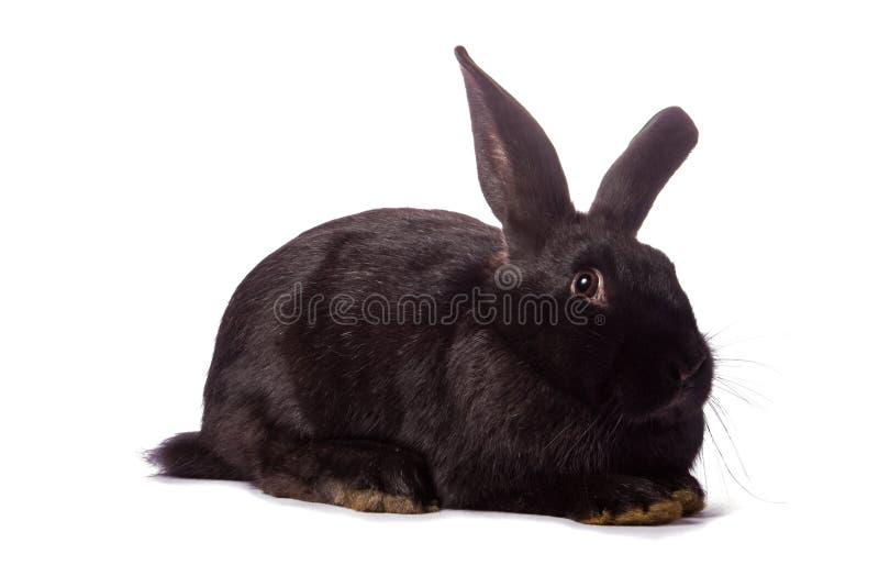 Coniglio nero isolato su bianco fotografia stock libera da diritti