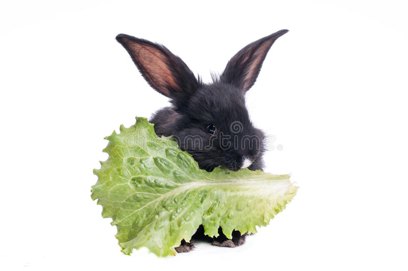 Coniglio nero sveglio che mangia insalata verde fotografie stock