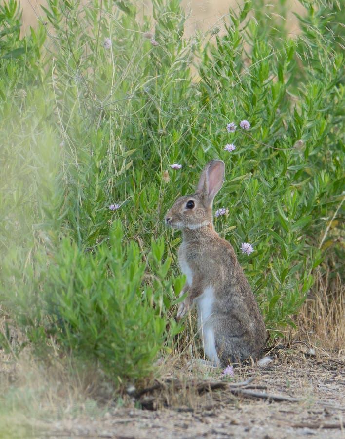 Coniglio selvaggio che sta dritto fotografia stock