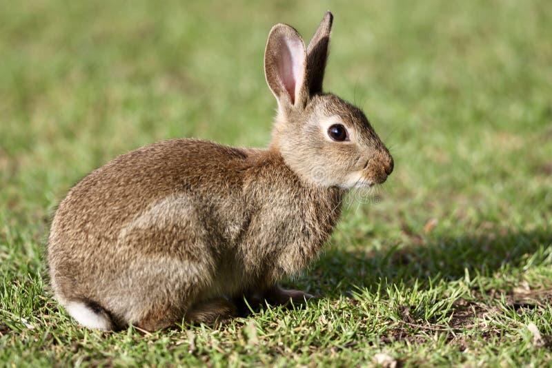 Coniglio selvaggio nel prato fotografia stock libera da diritti