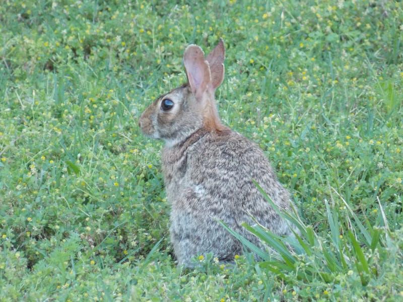 Coniglio selvaggio nell'iarda fotografia stock
