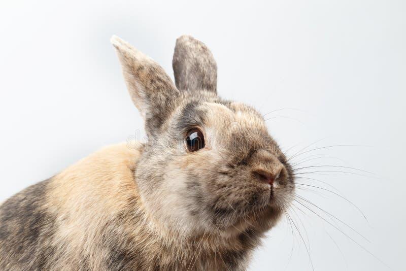 Coniglio simile a pelliccia del primo piano piccolo, pelliccia di Brown, isolata su fondo bianco immagini stock