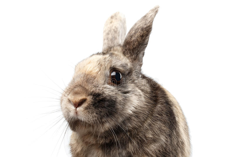 Coniglio simile a pelliccia del primo piano piccolo, pelliccia di Brown, isolata su fondo bianco fotografia stock libera da diritti