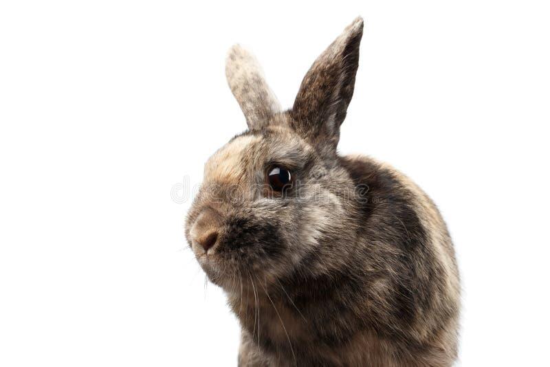 Coniglio simile a pelliccia del primo piano piccolo, pelliccia di Brown, isolata su fondo bianco immagine stock libera da diritti