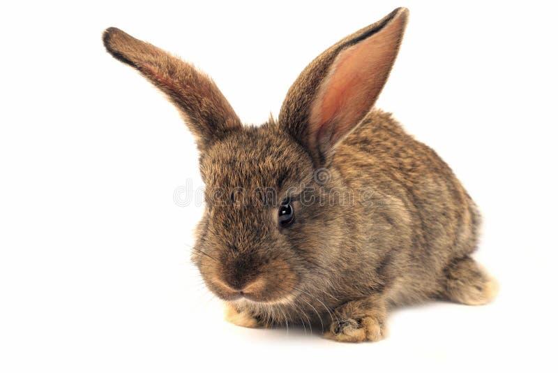 Coniglio sonnolento isolato immagine stock