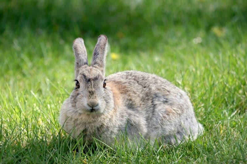 Coniglio su erba immagini stock