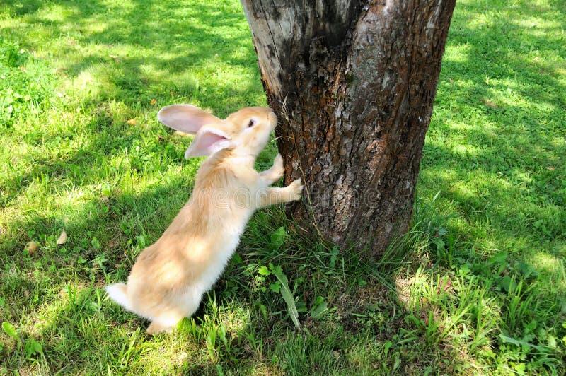 Coniglio sveglio che si leva in piedi sui piedini posteriori fotografia stock libera da diritti