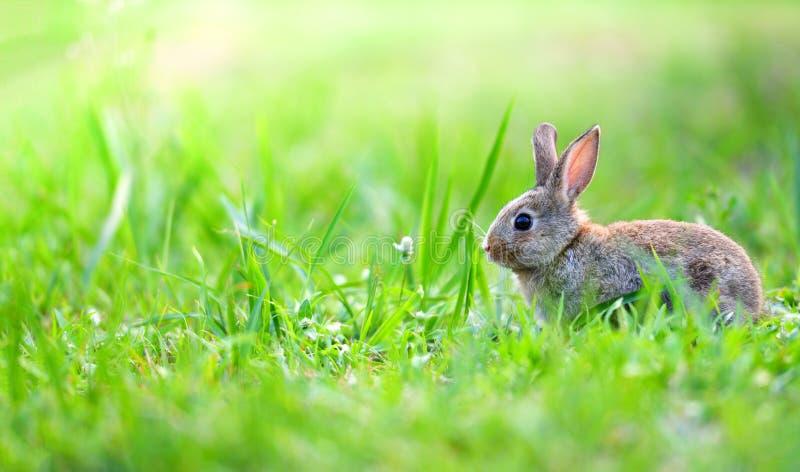 Coniglio sveglio che si siede sul prato verde della molla del campo fotografia stock