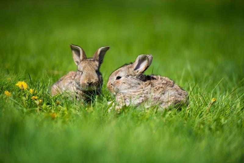 Coniglio sveglio con il dente di leone del fiore che si siede nell'erba Habitat della natura animale, vita in prato Coniglio euro fotografia stock