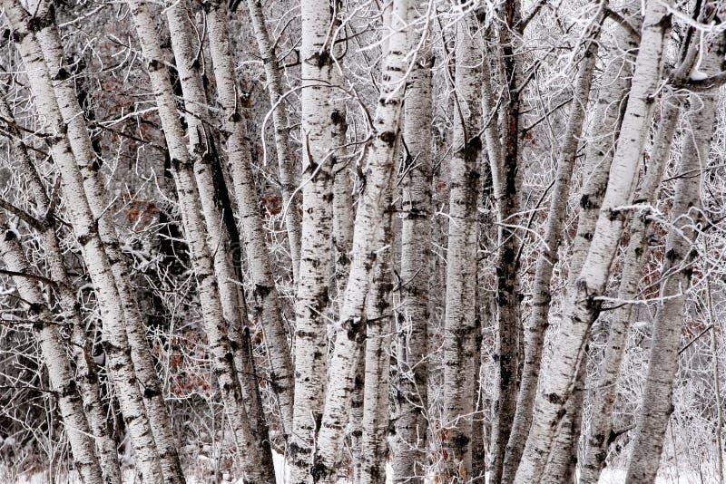 Conjunto da árvore de vidoeiro fotos de stock