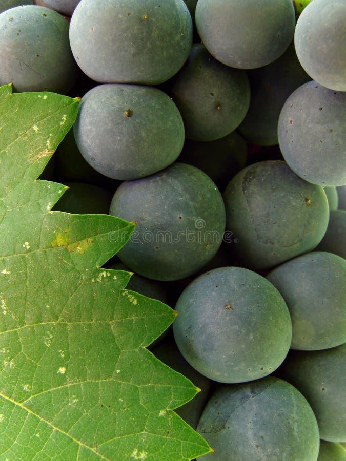 Conjunto da uva com folha fotografia de stock royalty free