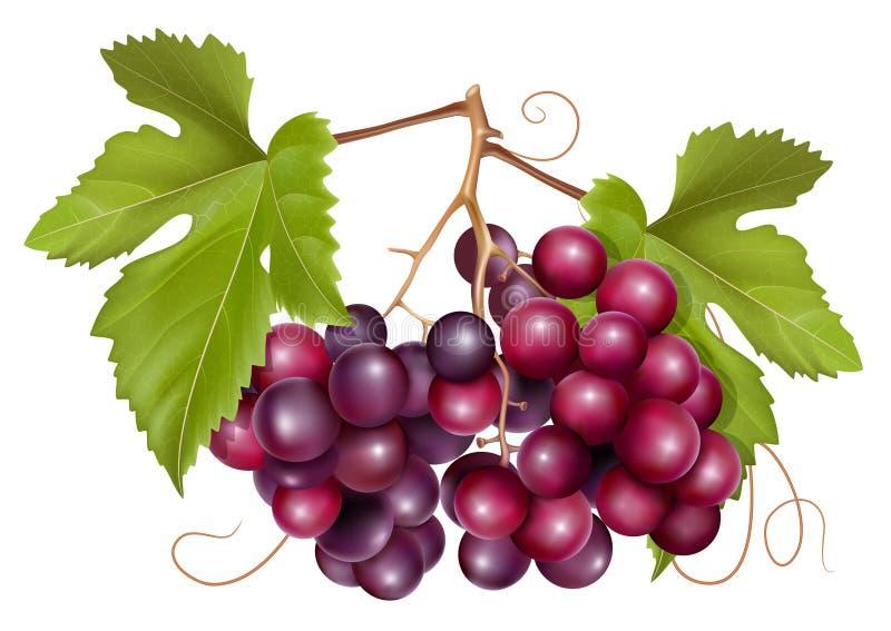 Conjunto da uva com folhas verdes ilustração stock