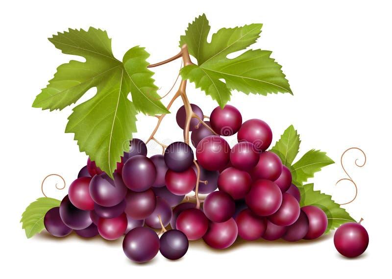 Conjunto da uva com folhas verdes. ilustração do vetor