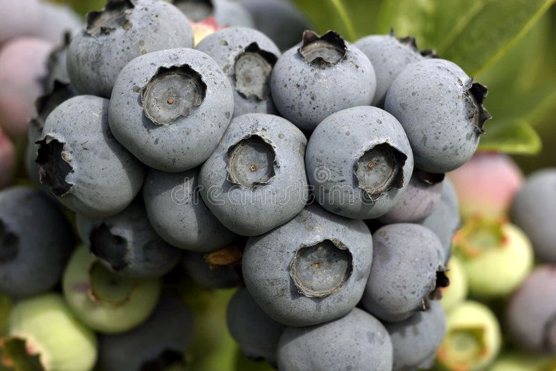 Conjunto da uva-do-monte na filial fotografia de stock