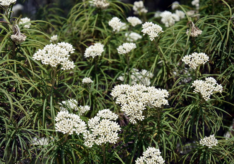 Conjunto das flores brancas imagem de stock