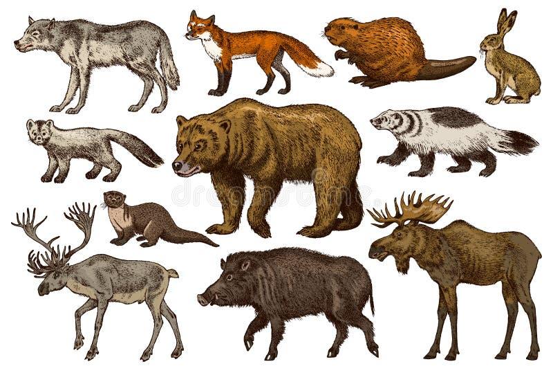 Conjunto de animais selvagens Floresta de Urso Grizzle Marrom Raposa Vermelha Mose Lobo-do-Norte Sábado de Lobo Cinzento-Cinzento ilustração royalty free