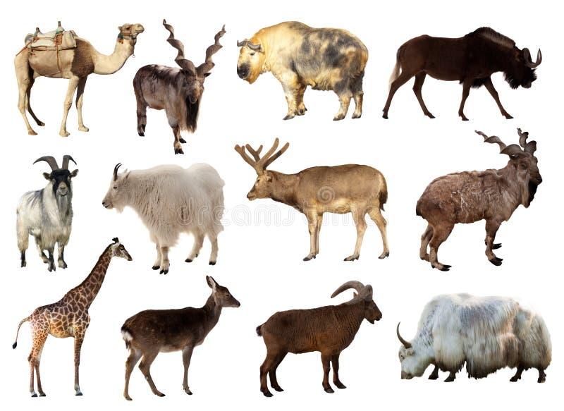 Conjunto de animales del Artiodactyla foto de archivo