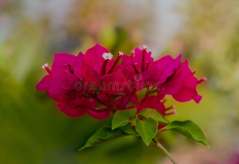 Conjunto de flor cor-de-rosa da buganvília imagem de stock royalty free