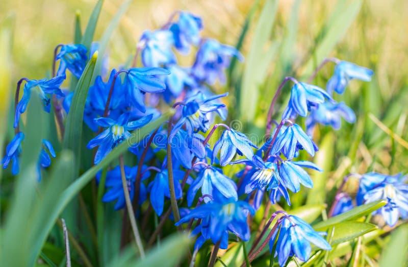 Conjunto de flores siberian azuis do squill, siberica do scilla, brilhando no sol fotos de stock