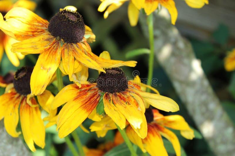 Conjunto de flores de Susan de olhos pretos imagens de stock
