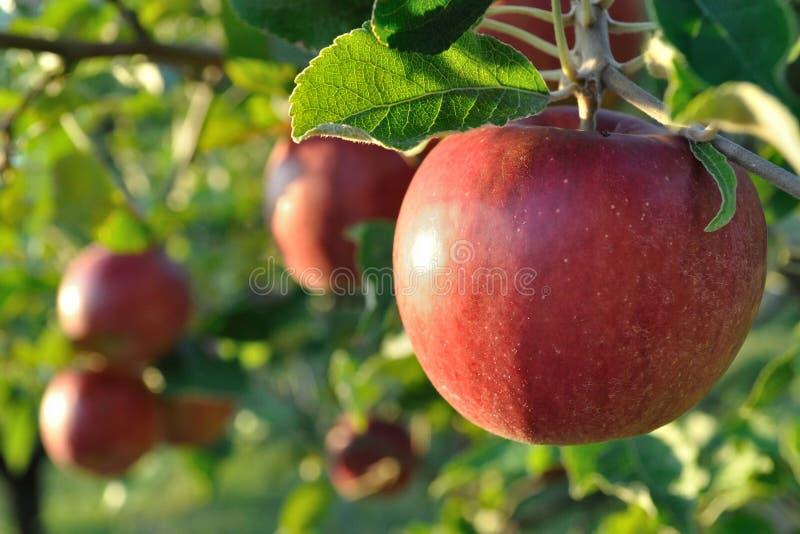 Conjunto de maçãs maduras em uma árvore fotos de stock